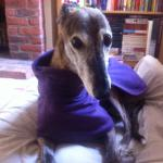 A beautiful hound lounging in their Milgi Coat