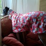 Aoife the Greyhound wearing a Crazy Daisy Fleece Coat