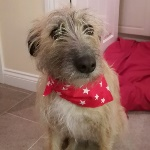 Bramble the Lurcher Wearing Milgi Coats Bandana