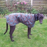 Elliott the Greyhound wearing his bespoke Peacock Walking Out Coat from MilgiCoats