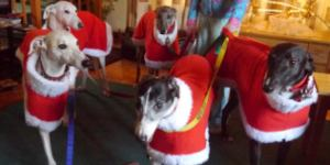 Five Greyhounds in their Milgi Coats Christmas Fleece