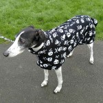 Herbie wearing skulls greyhound fleece coat from milgi coats