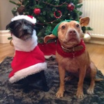 Jed (in his Christmas Fleece) and CJ the beautiful staffie girl
