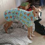 Marley the whippet wearing his owls fleece coat