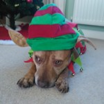 Milgi Coats Winner Festive Frolics 2015 CJ Staffy