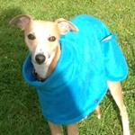 Milgi Coats - Bryn the whippet in his fleece coat