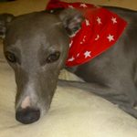 Milgi Coats - Enzo looking comfy on the sofa wearing a red stars bandana