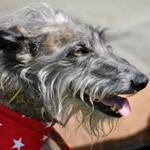 A Customer at the Greyhound Walks show wearing a Red Star Bandana