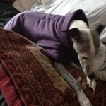 Katie the Whippet Wearing a Purple Milgi Coat Fleece