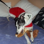 Angel the greyhound wearing a Milgi Coats Christmas Fleece Housecoat