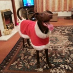 Barney the lurcher wearing a Milgi Coats Christmas Fleece Housecoat