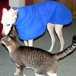Benny the greyhound wearing a Milgi Coats Blue Fleece Housecoat