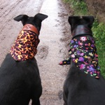 Milgi Coats - Bill and Ellie enjoying a walk at Killerton House proudly showing off their bandanas