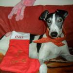 Cat the greyhound wearing a Milgi Coats Bandana