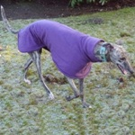 MilgiCoats Honey Greyhound Coat 2