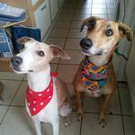 Milgi Coats - Murphy and Freya wearing bandanas