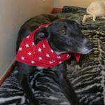 Ozzy the greyhound wearing a Milgi Coats Bandana