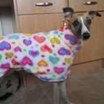 Roo wearing a Rainbow Hearts Milgi Coats