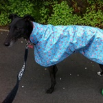 Rosie wearing a Turquoise Rose Greyhound Raincoat