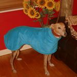 Tara from the Greyhound Sanctuary wearing a donated Milgi Coats