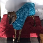 Turquoise spot greyhound coat worn by willow