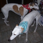 greyhound christmas bandanas