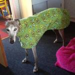 greyhound coat in green floral fabric