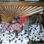 greyhound raincoat bohemian blooms design