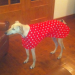 greyhound walking out coat in red stars modelled by woody