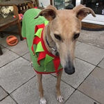 greyhound christmas elf coat