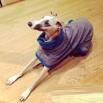 herbie in his whippet coat pyjamas