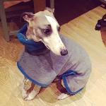 herbie in his whippet coat