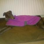 Lola in her greyhound fleece coat from milgicoats