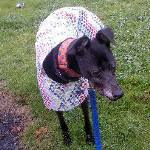lurcher raincoat five star general design