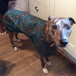 lurcher walking out coat modelled by calli
