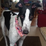 paris in her greyhound bandana from milgicoats