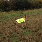 peggy in her yellow hi viz greyhound coat