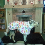 a happy dog in their rainbow hearts fleece from milgi coats