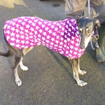 rosie in her greyhound coat from milgicoats