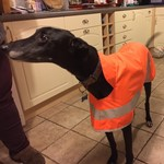 samson in orange hi viz greyhound coat