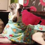 Smokey in their greyhound fleece coat from milgicoats