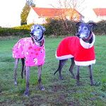 Two gorgeous hounds in their Milgi Coats fleeces