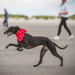 whippet bandana from milgi coats in red star design