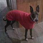 whippet coat red fleece worn by pickle the whippet from milgi coats