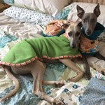 whippet coat uk cute on bed