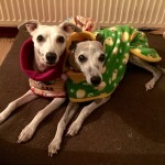 whippets in their milgi coats fleece coats