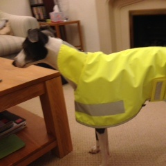 yellow hi viz greyhound coat modelled by penny