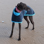 greyhound coat in navy and turquoise fleece