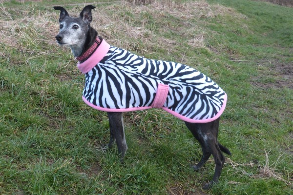 greyhound coat in zebra and light pink design
