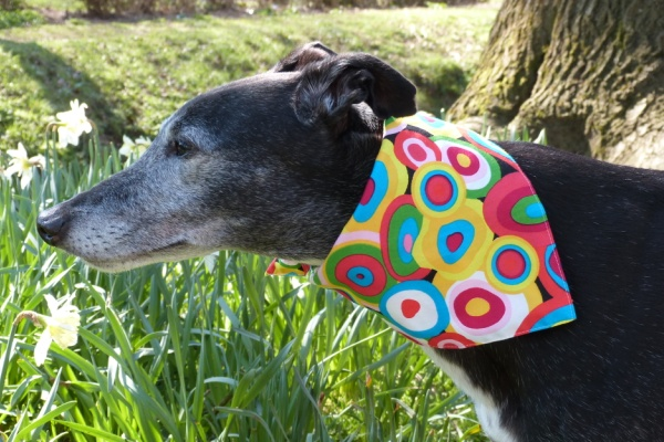 Magic Circles Yellow Bandana for Greyhounds Lurchers and Whippets